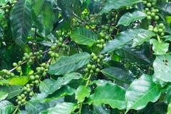 Kawowy drzewo z zielonymi kawowymi fasolami Zdjęcie Royalty Free