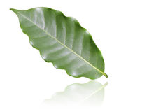 kawowy liść obrazy stock