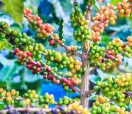kawowy przybycie opuszczać kawowy zasadza ziarno trzon Zdjęcie Stock