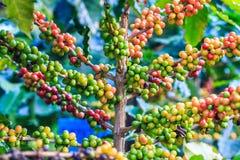 kawowy przybycie opuszczać kawowy zasadza ziarno trzon Zdjęcia Stock