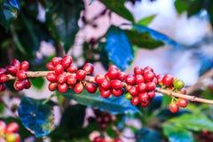 kawowy przybycie opuszczać kawowy zasadza ziarno trzon Zdjęcie Royalty Free