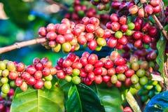 kawowy przybycie opuszczać kawowy zasadza ziarno trzon Obraz Stock