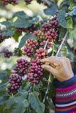 Kawowy rolnik zbiera kawowe fasole ręką Obrazy Royalty Free