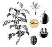 Kawy gałąź, Kawowy kwiat, Kawowej fasoli ręki rysunkowy rocznik cli ilustracji