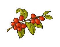 Kawy gałąź z liściem i jagodą Rocznika wektorowy rytownictwo royalty ilustracja
