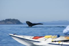 Kayak and humpback whale. A huge humpback whale is diving directly in front of a kayak in the near of Port Mc Neil at vancouver island in canada Stock Photos