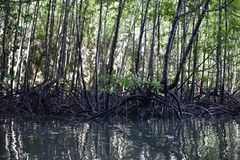 Kayak trip into the mangrove forest in Ao Thalaine in Krabi in Thailand, Asia. Kayak trip into the mangrove forest in Ao Thalaine in Krabi in Thailand in Asia royalty free stock photos