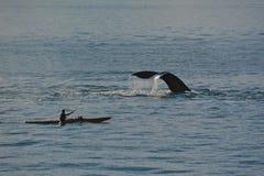 Kayaking με το Humpback Στοκ Εικόνα