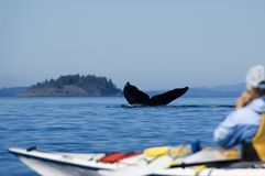 Kayaking and humpback tail. A huge humpback whale is diving directly in front of a kayak in the near of Port Mc Neil at vancouver island in canada Royalty Free Stock Photos