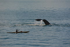 Kayaking med puckelryggen fotografering för bildbyråer