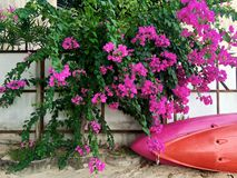 Kayaks lie near the fence under a tropical bush with purple flowers stock photography
