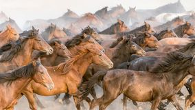 Horses run gallop in dust stock images