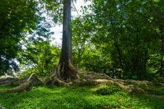 Kayu王侯或国王从亚洲的Tree有大根和一个的在Kebun拍的世界照片的最大的树Raya 免版税库存图片