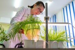 2019-09-01, Kazachstan, Kostanay hydroponika Młody żeński laborancki technik egzamininuje Azjatyckie rośliny i korzenie r obraz stock