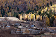 Kazakh Compound & Birch Forest. It is a small Kazakh compound on the way from Kanas to Hemu, which is surrounded by the birch forest on the mountain. Northern royalty free stock photo