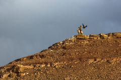 Kazakh Eagle Hunter Berkutchi with horse while hunting to the hare with a golden eagles on his arms Stock Photo