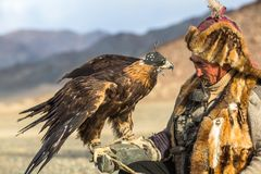 Kazakh Eagle Hunter Berkutchi with horse while hunting to the hare with a golden eagles on his arms. SAGSAY, MONGOLIA - SEP 28, 2017: Kazakh Eagle Hunter Royalty Free Stock Photography
