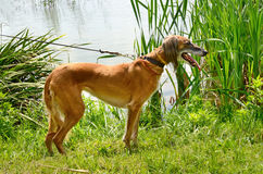 Kazakh greyhound Tazi Stock Images