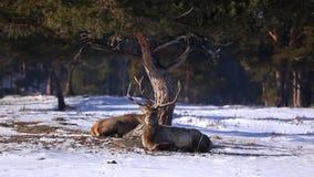 Kazakh herten in een natuurlijke reserve tegen de achtergrond van het bos stock videobeelden