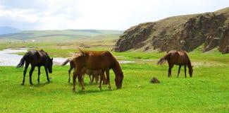 Kazakh horse Stock Photo