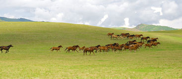 Kazakh horse royalty free stock images