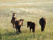 Kazakh horses Stock Images