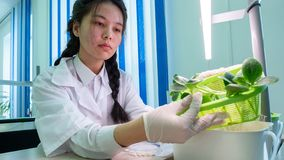 2019-09-01, Kazakhstan, Kostanay. Hydroponics. Students experimental biological class. Asian girl showing zucchini sprouts with stock photos