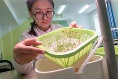 2019-09-01, Kazakhstan, Kostanay L'écolière dans les verres et un manteau blanc montre les plantes vertes dans une tasse développ images libres de droits
