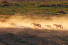 Kazakhstan.Steppe. Caravan of horses. Stock Photography