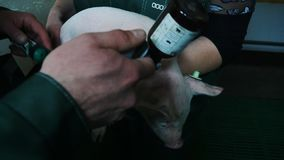 Vaccination for a pig on a pig farm stock footage