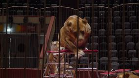 Tigers in the circus arrange the show