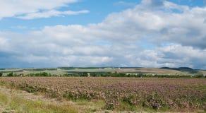 Поле розы крымского розового kazanlak зацветая флористическое Стоковые Фото