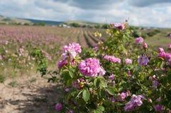 Kazanlak rosfält på Bakhchisaray, Krim Royaltyfri Foto