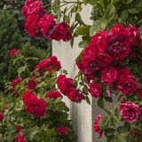Kazimierz Dolny, Poland - red roses. This image shows a view of Kazimierz Dolny, a small town in Poland, Europe. It was taken in June 2017 on a beautiful sunny Royalty Free Stock Image