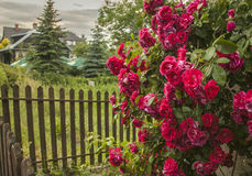 Kazimierz Dolny, Poland - the roses. This image shows a view of Kazimierz Dolny, a small town in Poland, Europe. It was taken in June 2017 on a beautiful sunny Royalty Free Stock Photography