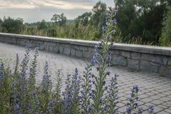 Kazimierz Dolny, Polen - blaue Blumen und ein Weg Stockfotos