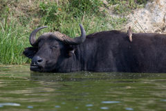Kazinga Channel Uganda - Buffalo and Bird. A water buffalo with bird on its back taken from water height. The image is from the Kazinga Channel Uganda royalty free stock image