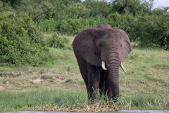 Kazinga Channel Uganda - Elephant. An elephant grazing near the banks of the Kazinga Channel in Uganda stock photography