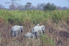 kaziranga слонов Стоковые Фото