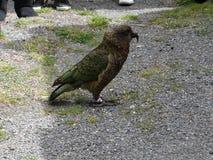 kea新西兰 图库摄影