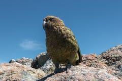 Kea鹦鹉在自然生态环境 免版税库存照片