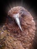 Kea鹦鹉 库存图片