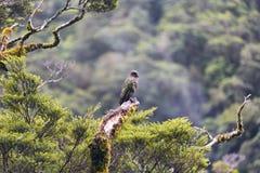 Kea è un nativo del pappagallo all'isola del sud della Nuova Zelanda immagine stock libera da diritti