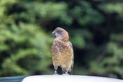 Kea è un nativo del pappagallo all'isola del sud della Nuova Zelanda fotografie stock