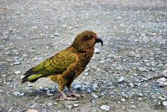 kea πουλιών Στοκ φωτογραφία με δικαίωμα ελεύθερης χρήσης