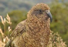 kea Новая Зеландия Стоковое Фото