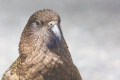 Kea, попугай миров только высокогорный только нашло в Новой Зеландии Стоковое Изображение