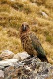 Kea. This New Zealand native is the worlds only alpine parrot and a very intelligent and mischievous bird Stock Photo