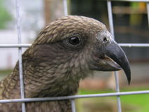 Kea. Parrot with head sticking out between her aviary bars Royalty Free Stock Photos