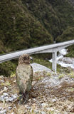 Kea Stock Photo
